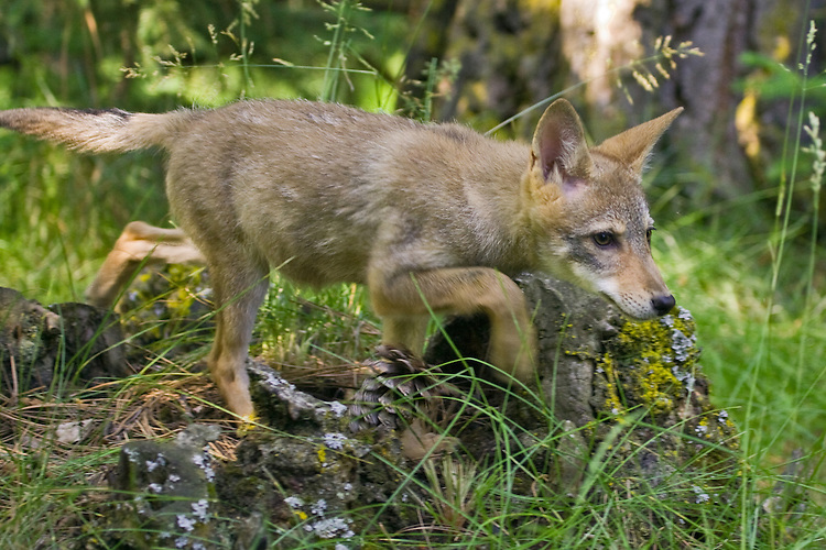 Young Coyote walking over an old tree stump - CA