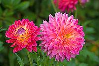 Pink Dahlia, Washington