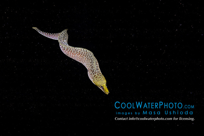 Undulated Moray, Gymnothorax undulatus, hunting at night, off Kona Coast, Big Island, Hawaii, Pacific Ocean