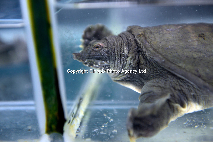 Turtles for sale in Tesco, in the Chaoyang area of Beijing.  Live turtles are sold and often killed on the premises of the shop.  <br /> <br /> Photo by Sinopix