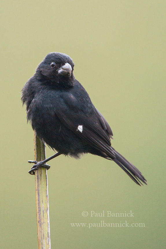 Variable Seedeater, Sporophila corvina