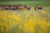 Europe/France/Poitou-Charentes/79/Deux-Sèvres/Loubillé: Elevage  de chèvres en paturage en production bio de Patrick Balland - Elevages des Fontaines - dont le lait est utilisé par une laiterie pour produire des fromages bio