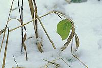 Zitronenfalter, Zitronen-Falter, Gonepteryx rhamni, Überwinterung bei Eis und Schnee als Imago, brimstone, brimstone butterfly, overwinter survival, hibernation, snow
