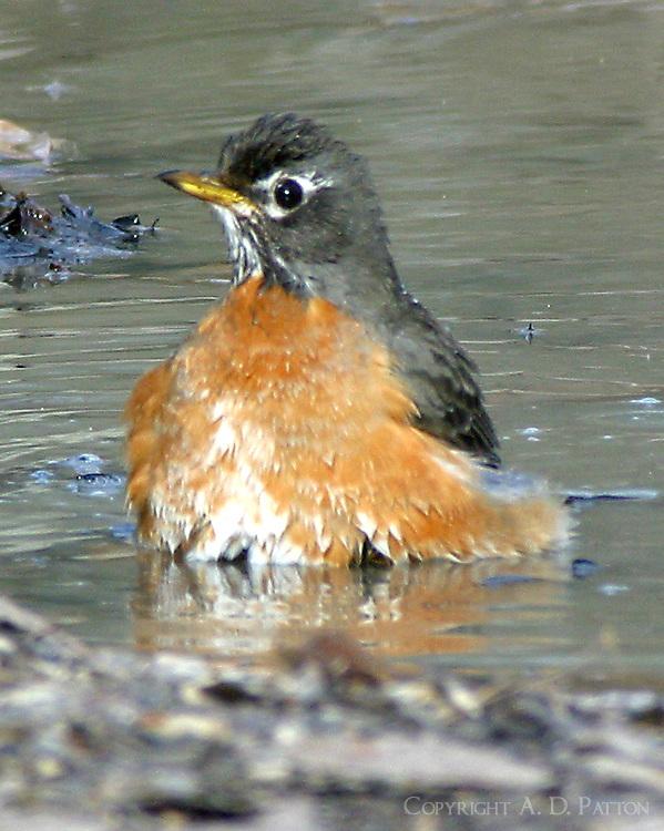 Adult male American robin bathing