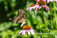 03017-01520 Giant Swallowtail (Papilio cresphontes) on Purple Coneflower (Echinacea purpurea) Marion Co. IL
