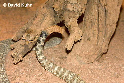 0517-1103  Speckled Rattlesnake Detail of Rattler (Mitchell's Rattlesnake or White Rattlesnake), Southwestern United States, Crotalus mitchellii  © David Kuhn/Dwight Kuhn Photography