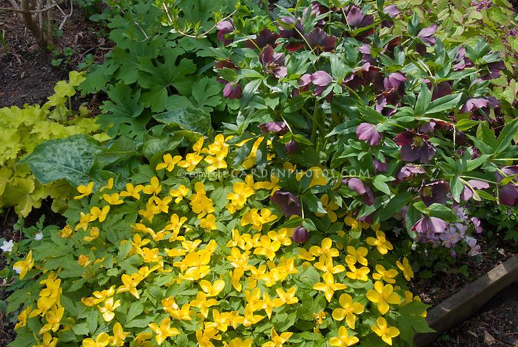Hylomecon japonicum  with Helleborus Brandywine hybrid