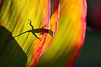 Anole lizard on ti leaf plant.