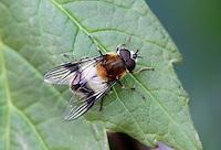 Hoverfly - Leucozona lucorum - Male.