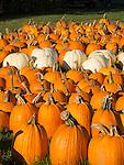 Scotts' Farm and Greenhouses, Essex, CT. Pumpkins.