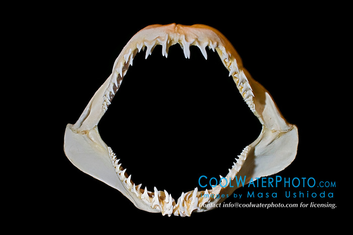 jaws of shortfin mako shark, Isurus oxyrinchus - daggerlike teeth grasp and hold fast-swimming prey such as fish and sqid prior to swallowing, differences in shark tooth size and shape reflect what and how they prey on, Hawaii