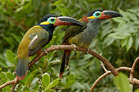 Guyana Toucanet, (Selenidera culik), male and female