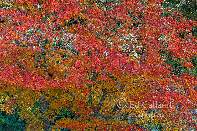 Autumn, Japanese Maple, Mill Valley, Marin County, California