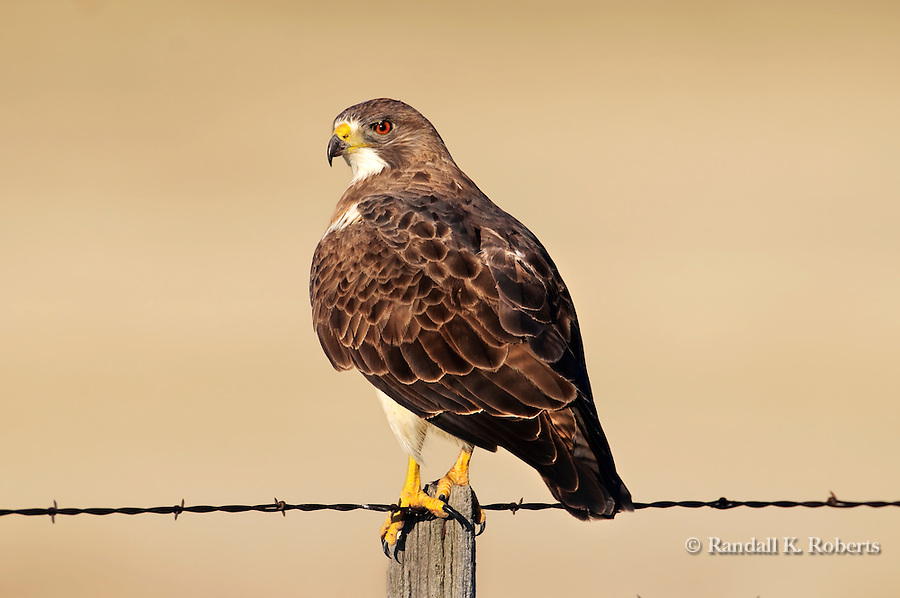 A Swainson's Hawk (Buteo swainsoni), searches for a meal from a fence post in the Pawnee National Grasslands in northern Colorado.