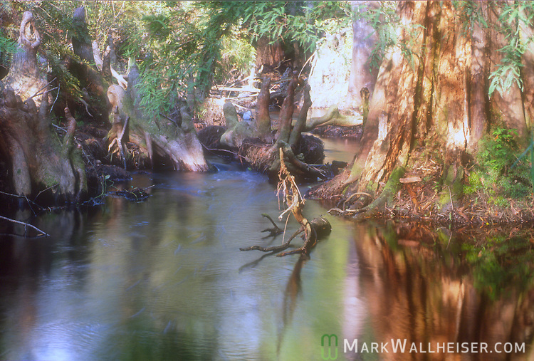 The upper Fenholloway River above the Proctor and Gamble paper mill in Perry, Florida.