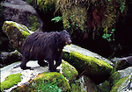 black  bear at Anan Creek in Tongass National Forest