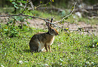 The Indian hare (Lepus nigricollis), also known as the black-naped hare, is a common species of hare found in the Indian Subcontinent.