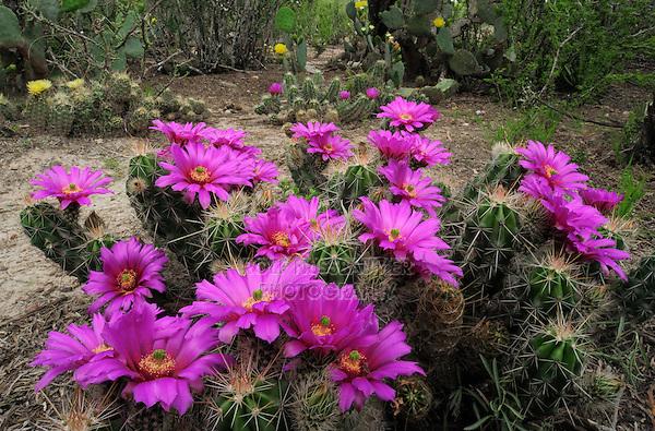 Strawberry Hedgehog Cactus (Echinocereus enneacanthus), blooming, Laredo, Webb County, South Texas, USA