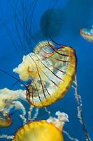 435250015 pacific sea nettle chrysaora fuscescens swim and float in their aquarium at the long beach aquarium in long beach california
