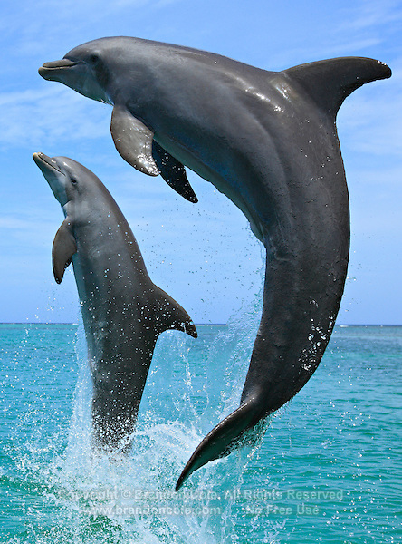 qk0036-D. Bottlenose Dolphins (Tursiops truncatus) jumping. Honduras, Caribbean Sea..Photo Copyright © Brandon Cole. All rights reserved worldwide.  www.brandoncole.com..This photo is NOT free. It is NOT in the public domain. This photo is a Copyrighted Work, registered with the US Copyright Office. .Rights to reproduction of photograph granted only upon payment in full of agreed upon licensing fee. Any use of this photo prior to such payment is an infringement of copyright and punishable by fines up to  $150,000 USD...Brandon Cole.MARINE PHOTOGRAPHY.http://www.brandoncole.com.email: brandoncole@msn.com.4917 N. Boeing Rd..Spokane Valley, WA  99206  USA.tel: 509-535-3489
