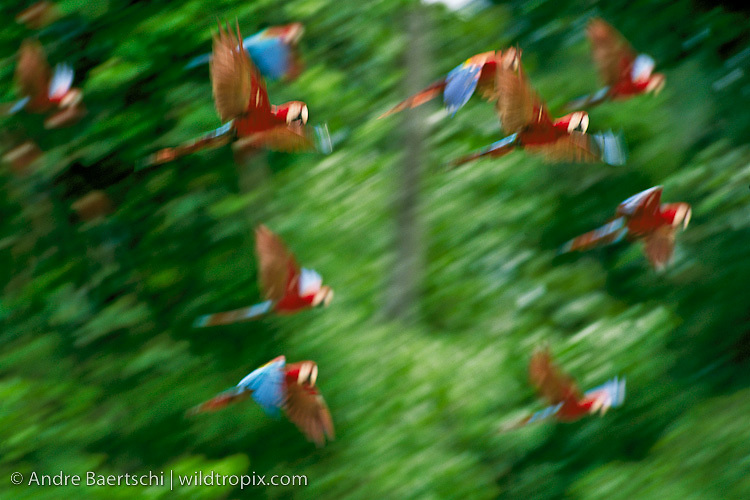 Red-and-Green Macaws and Sclarlet Macaws (Ara chloroptera and Ara macao) flying off from clay lick along the Rio Manu, lowland tropical rainforest, Manu National Park, Madre de Dios, Peru.
