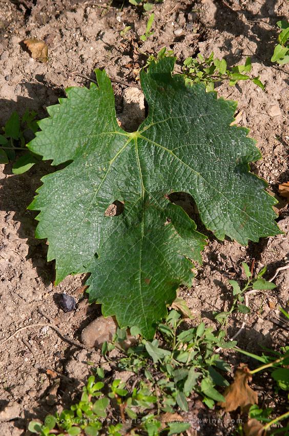Vine leaf. Merlot. Clos Saint Julien, Saint Emilion, Bordeaux, France