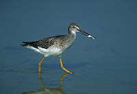 Lesser yellowlegs walking in shallowtide pool with minnow, Florida