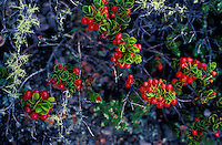 Ohelo berries (Vaccinium reticulatum) were used medicinally by Hawaiians, the Hawaiian blueberry, sacred to Pele, today used for making Jam, Jelly, syrup, abundant at Hawai`i Volcanoes National Park.