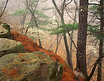Starved Rock State Park, IL<br /> Fog on an early spring forest bluff with flowering Serviceberry (Amelanchier arborea) and mossy rocks