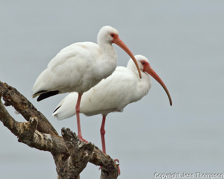Two White Ibis, Choke Canyon State Park, TX