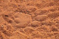African Lion track in the sand of a dry stream bed.  Africa.