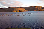 Fish farm Olna Firth at dusk, Mainland, Shetland Islands, Scotland