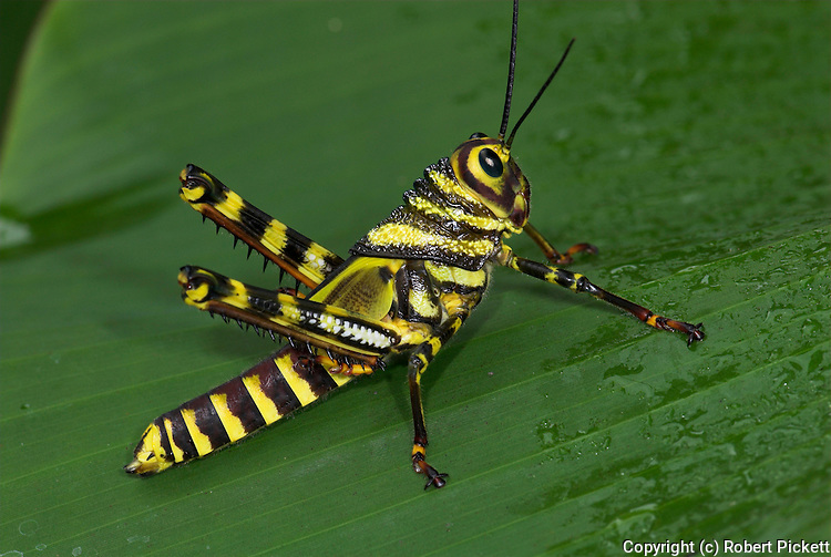 Grasshopper, Tropidacris cristata, Hacienda Baru, Costa Rica, tropical jungle, black and yellow stripes, striking.Central America....
