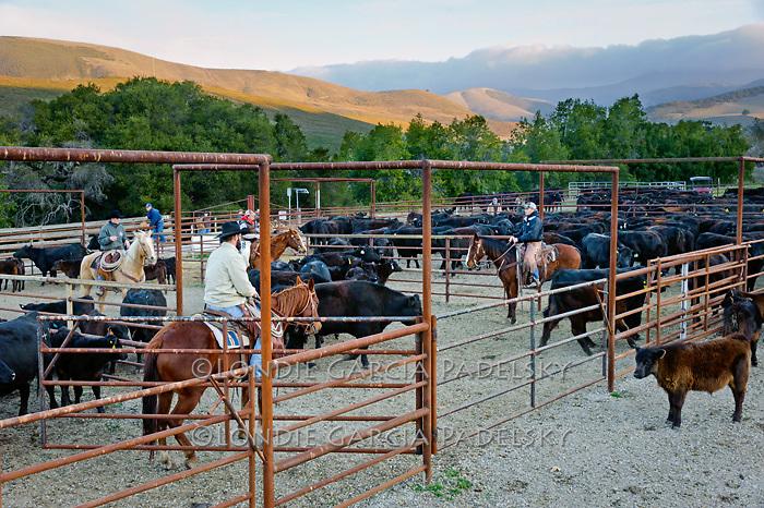 Sunrise, students sorting cattle at the Escuela Ranch, San Luis Obispo, California
