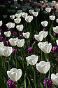 White Tulip 'Angel's Wish' or 'Angels Wish' (Single Late Group) and Tulip 'Purple Flag (Triumph Group), late April.