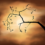 Illustration of a tree branch silhouette. Sakura cherry blossom over dramatic stormy sunset sky and the sun