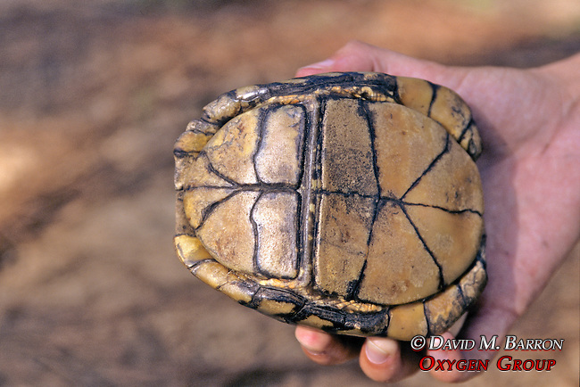 Plastron Gulf Coast Box Turtle