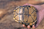 Plastron Gulf Coast Box Turtle