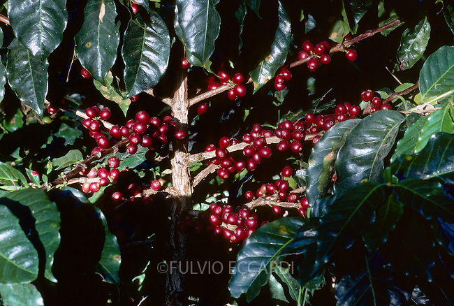 Indonesia, Java, Kalisat Jampit Estate, coffee, coffea, arabica, cherries, beans, unripe, variety, plantation, plant, tree, bush, foliage, green, red, grow, organic, unpicked
