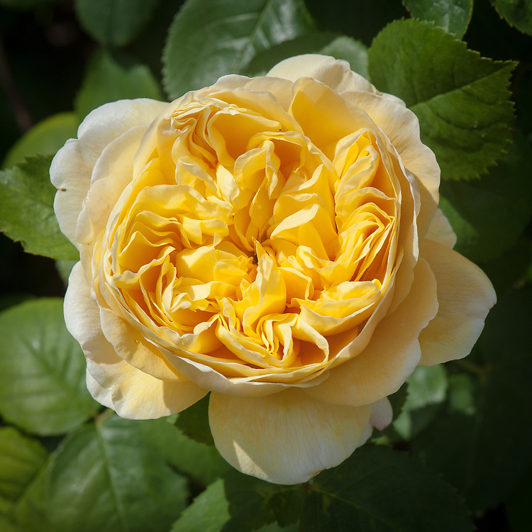 Rosa Graham Thomas ('Ausmas'), late June. A rich yellow English rose from David Austin first introduced in 1983.