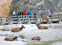 A curious elk approaches tourists at Mammoth Hot Springs.