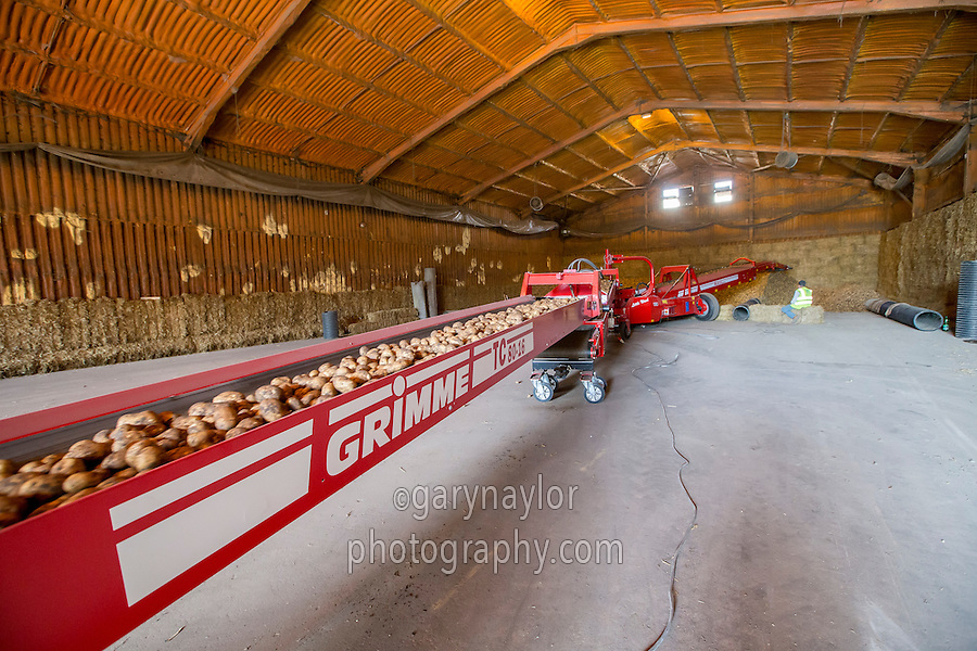 Loading a bulk potato store - Cambridgeshire, September