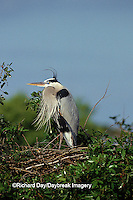 00684-01514 Great Blue Heron (Ardea herodias) at nest    FL