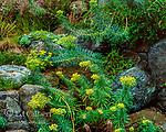Euphorbia, Euphorbia amygdaloides, Fern Canyon Gardens, Mill Valley California