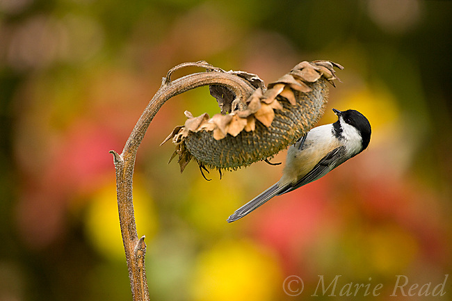 Black-capped Chickadee (Poecile atricapilla) clinging to feed from sunflower seedhead in autumn, New York, USA