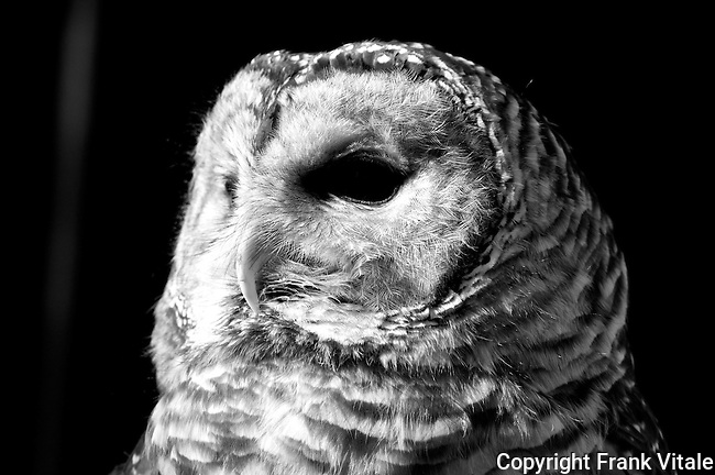 Bianca is a Barred Owl and a long-time resident at the Center for Wildlife in Cape Neddick, ME. It is being cared for at the Center for an injury that prevents it from being returned to the wild.
