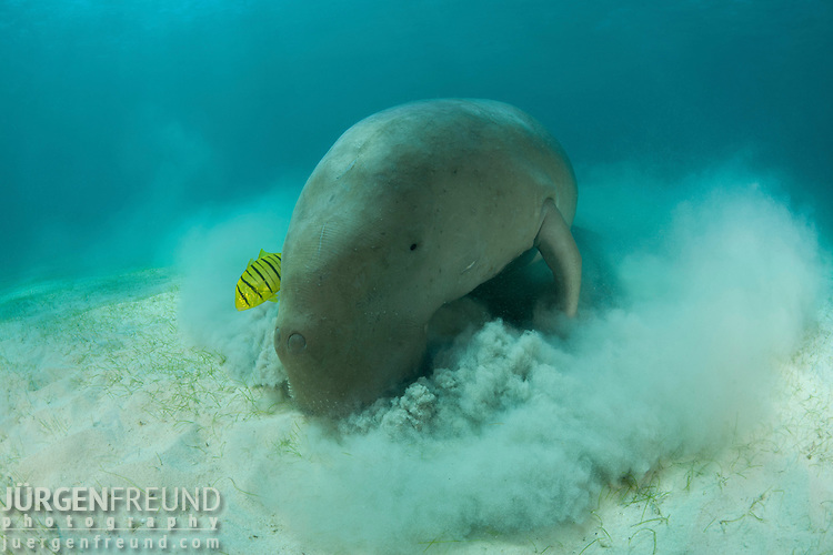 Dugong (Dugong dugon) feeding in the seagrass bed.
