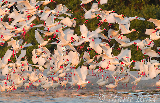 Flock of White Ibis (Eudocimus albus) in breeding plumage, taking flight from beach at edge of mangrove-covered island that forms their nesting rookery, Tampa Bay, Florida, USA