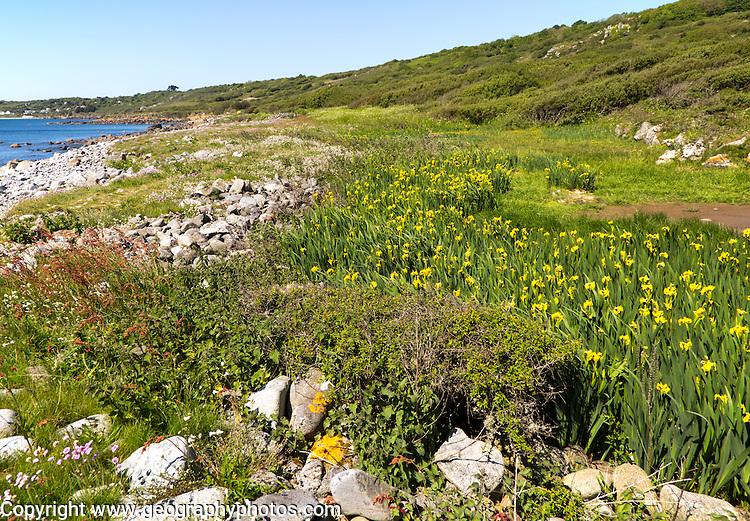 Wildflowers growing near Lowland Point, Coverack, Lizard Peninsula, Cornwall, England, UK