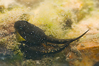 Tadpoles of Amargosa toad, Bufo nelsoni.  The species is described as sensitive and imperiled by the State of Nevada and U.S. Bureau of Land Management, but is not listed as an Endangered Species.  Oasis Valley, near Beatty, Nevada
